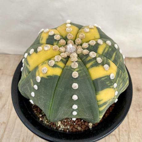2、Astrophytum ルリ兜錦(接木・台)