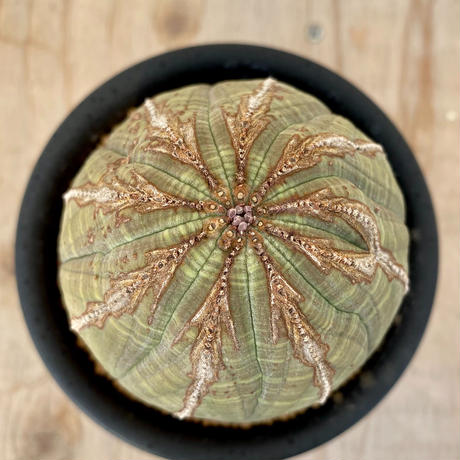 61、Euphorbia オベサ(実)