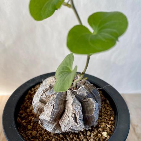 96、Dioscorea 亀甲竜