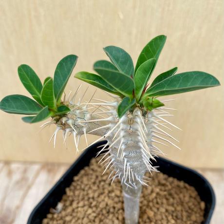 61、Euphorbia ギラミニアーナ(実)