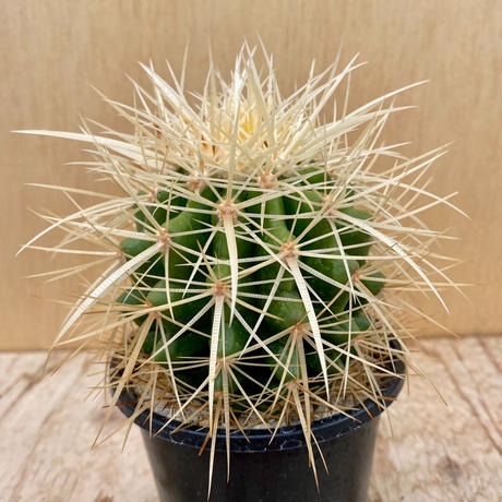 125、Echinocactus 白刺金鯱