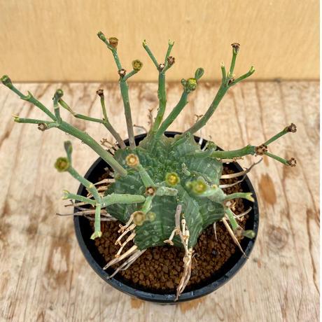 97、Euphorbia バリダ