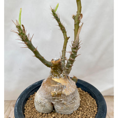 71、Pachypodium succulentum