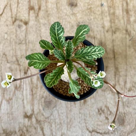 174、Euphorbia フィッシュボーン