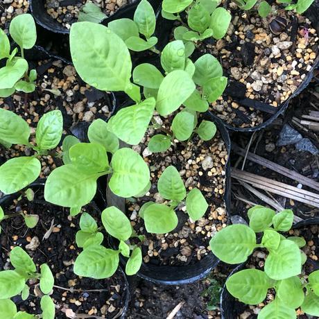 自家栽培 藍の苗