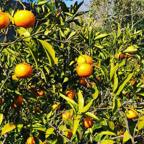 無農薬自然栽培のみかんまるごとロードライフみかん