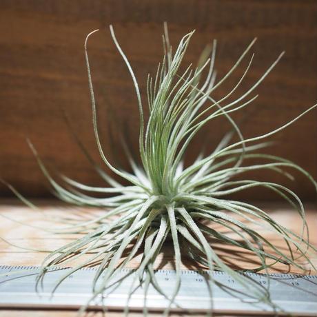 チランジア / マグヌシアナ (T.magnusiana) *A01/Feb23