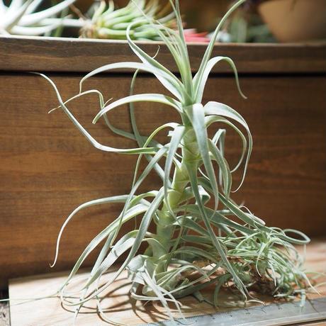 チランジア / ストラミネア トールホワイト (T.straminea 'Tall White') *A01/Dec19