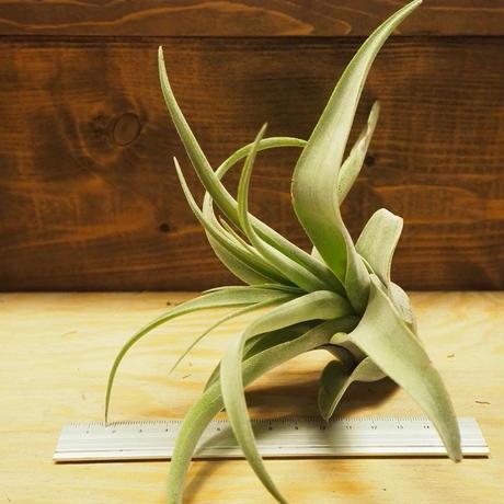 チランジア / ストレプトフィラ L (T.streptophylla) *A02/Se01