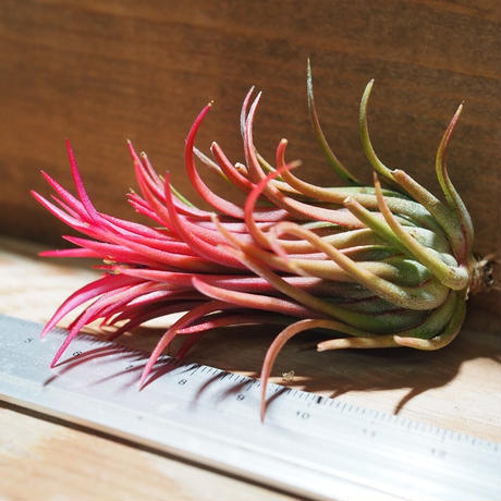 チランジア / イオナンタ フェーゴ レッドジャイアント (T.ionantha 'Fuego Red Giant') *A01/Dec19