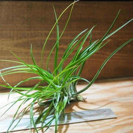 チランジア / ストリクタ グリーン CL (T.stricta 'Green') *A01/May01