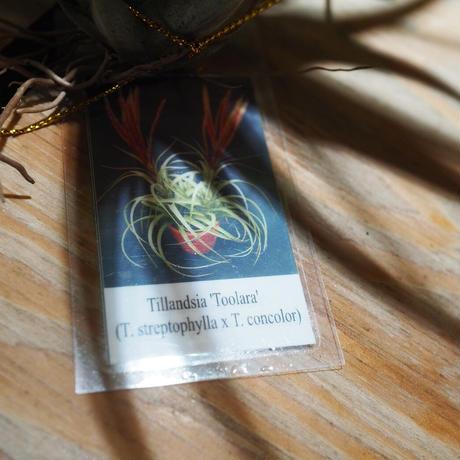 チランジア / トゥーラーラ 開花株・子株付き (T.'Toolara') *A01/Oct13