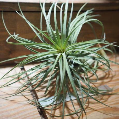 チランジア / エクセルタ × ベルティナ (T.exserta× T.velutina) *A01/Apr17