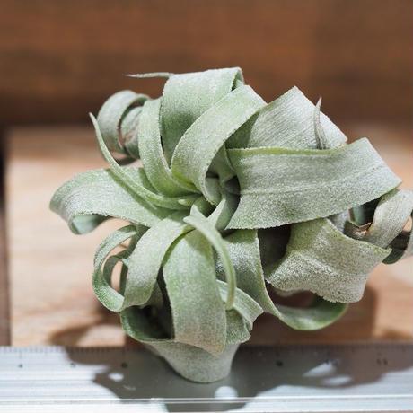チランジア / ストレプトフィラ mini (T.streptophylla) *A01/Aug27-02