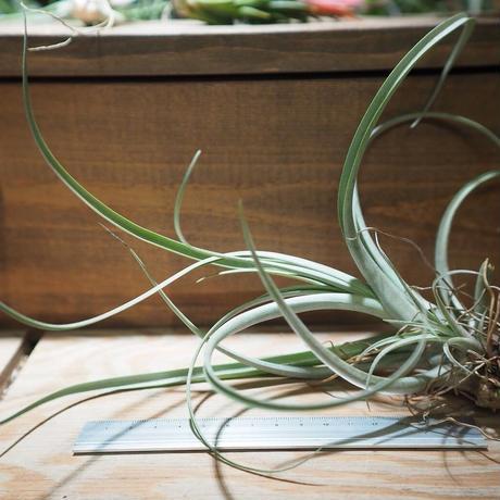 チランジア / シュステリー (T.schusteri) *A01/Dec19