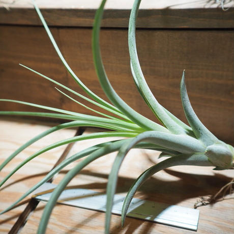 チランジア / カプトメドーサ × コンコロール (T.caput-medusae × T.concolor) *A01/Feb23