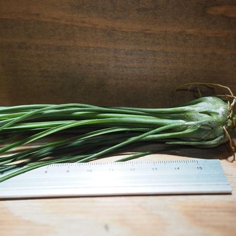 チランジア / ディスティカ グリーン (T.disticha 'Green') *A01/Nov22