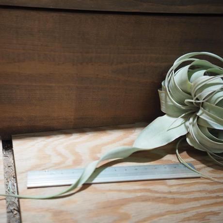チランジア / キセログラフィカ ロングリーフ mini 紅葉株 (T.xerographica) *A01/Feb22-01