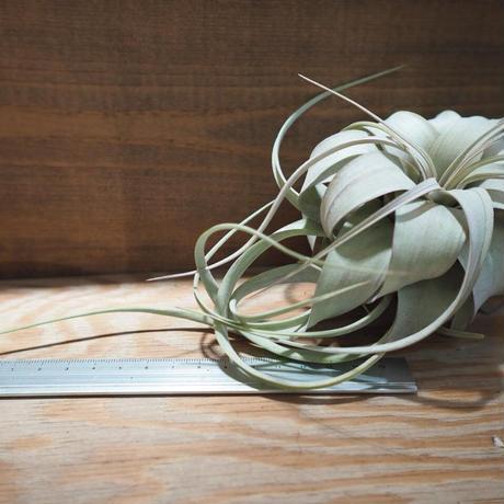 チランジア / キセログラフィカ ロングリーフ mini 紅葉株 (T.xerographica) *A01/Feb20-03