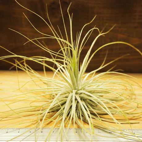 チランジア / マグヌシアナ (T.magnusiana) *A02/Se01