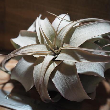チランジア / キセログラフィカ ロングリーフ S 紅葉株 (T.xerographica) *A01/Feb22-01