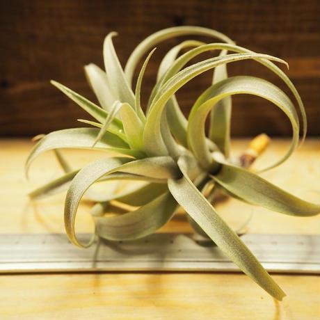 チランジア / ロゼオスカパ S (T.roseoscapa) *A02/J07