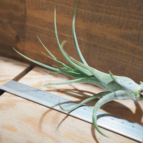チランジア / パウシフォリア (T.paucifolia) *A01/Oct04