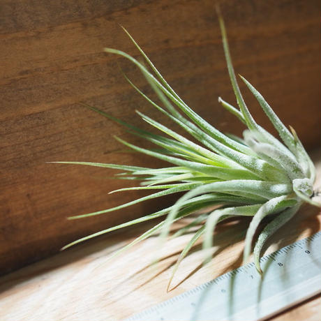 チランジア / コルビー (T.kolbii) *A01/Mar07
