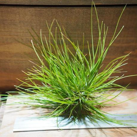 チランジア / セタセア (T.setacea) *A01/Feb22