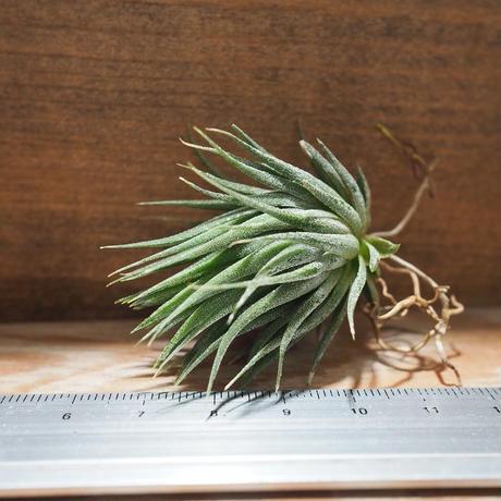 チランジア / イオナンタ ヘーゼルナッツ  (T.ionantha 'Hezel Nut') *A01/Oct02-02