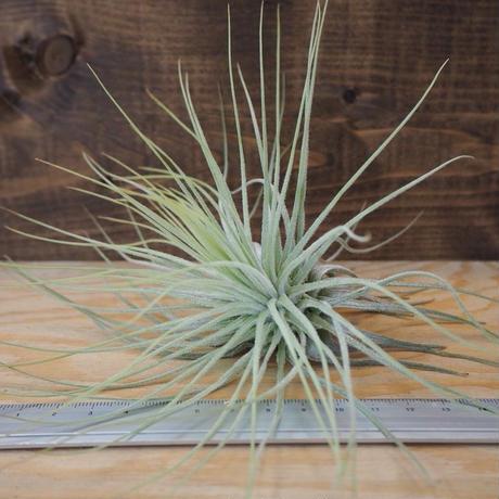 チランジア / マグヌシアナ (T.magnusiana) *A02/J23