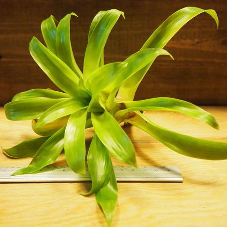 チランジア / ルベラ (T. rubella) *A02/Ju22
