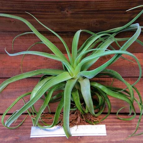 チランジア / ストレプトフィラ XLサイズ (T.streptophylla)
