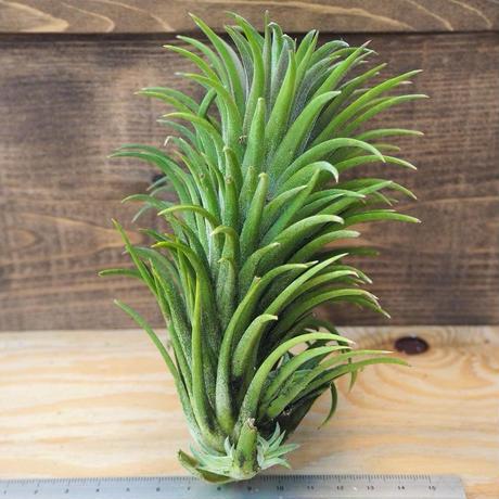 チランジア / イオナンタ カーリージャイアント XL (T.ionantha 'Curly Giant') *A02/J27