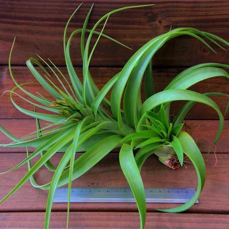 チランジア / ブラキカウロス ジャイアントグリーン (T.brachycaulos 'Giant Green') ※開花株・子株付き