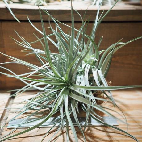 チランジア / レクルヴィフォリア × ガルドネリー (T.recurvifolia × T.gardneri) *A01/Apr17