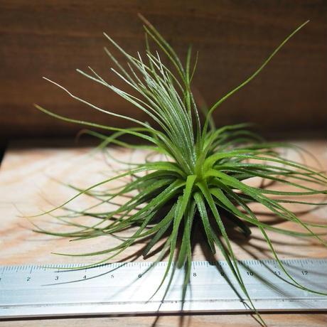 チランジア / マグヌシアナ (T.magnusiana) *A01/Jan17