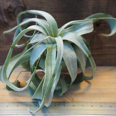チランジア / ストレプトフィラ L (T.streptophylla) *A02/J23-01