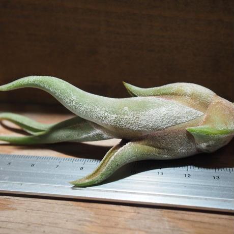 チランジア / カプトメドーサ M (T.caput-medusae) *A01/Mar20
