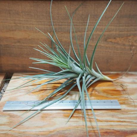 チランジア / アエラントス アルボフローラ (T.aeranthos 'Albo-Flora') *A01/Jul05