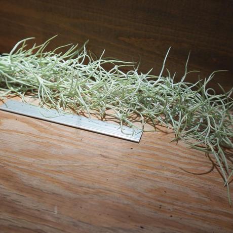 チランジア / ウスネオイデス 太葉 (T.usneoides) *A01/Jun22-03