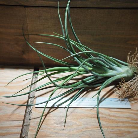 チランジア /  ブルボーサ × プエブレンシス (T.bulbosa × T.pueblensis) *A01/Apr15