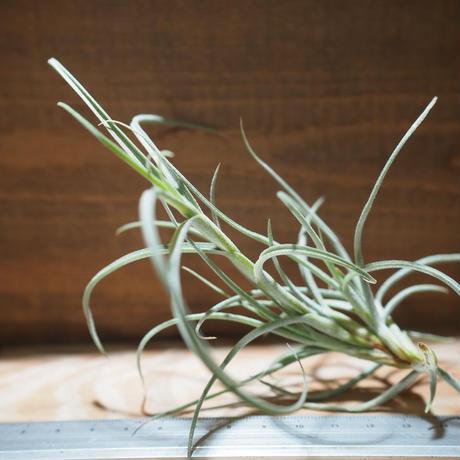 チランジア / クロカータ ジャイアント (T.crocata Giant) *A01/ Mar05