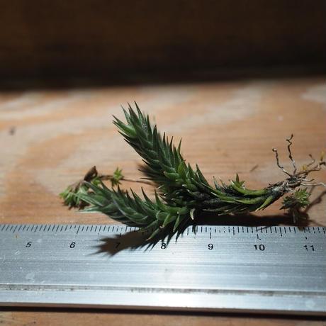 チランジア / トリコレピス (T.tricholepis)  *A01/Feb01