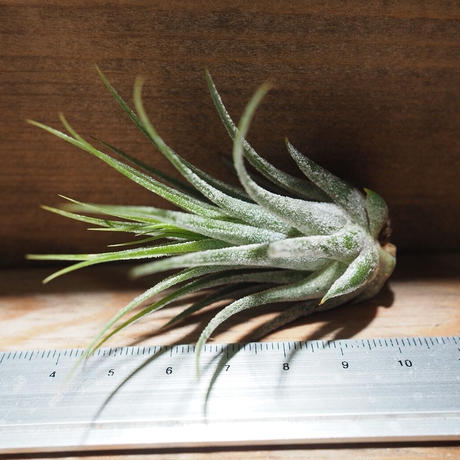 チランジア / コルビー (T.kolbii) *A01/Nov23