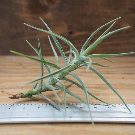 チランジア / ココエンシス (T.cocoensis) *A02/Au31