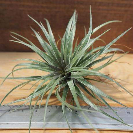 チランジア / ストリクタ スティッフパープル (T.stricta 'Stiff Purple') *A02/J21