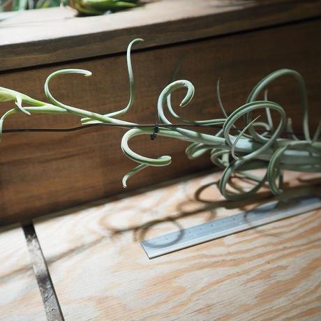 チランジア / インターメディア ラージフォーム (T.intermedia 'Large form') *A01/Jan10