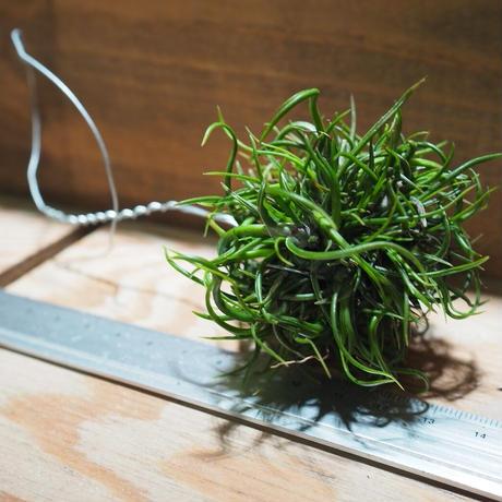 チランジア / ブルボーサ ミニブラジル CL (T.bulbosa 'Mini Brazil') *A01/Jan27