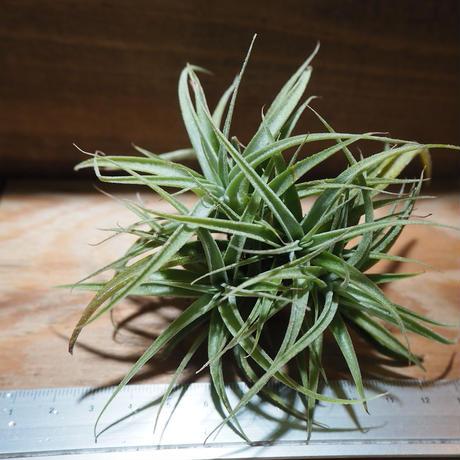 チランジア / カクティコラ × プルプレア (T.cacticola × T.purpurea) *A01/Mar28